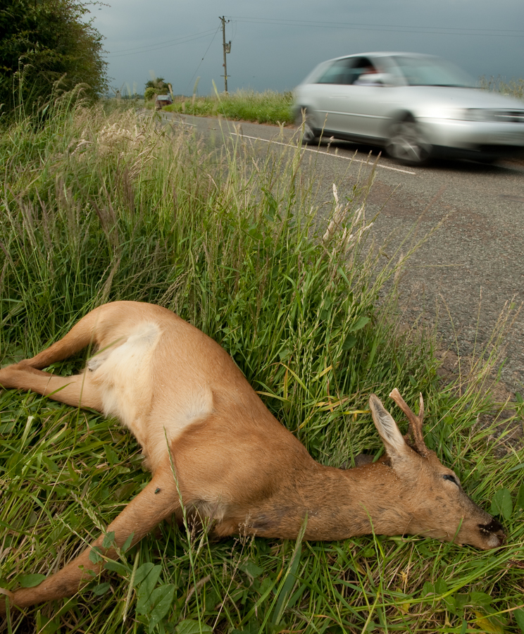 Road Kill, Dead Roe deer